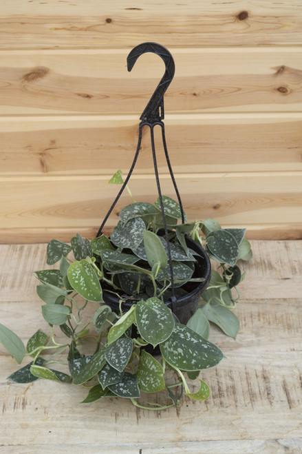 Pothos - Scindapsus Silvery Anne