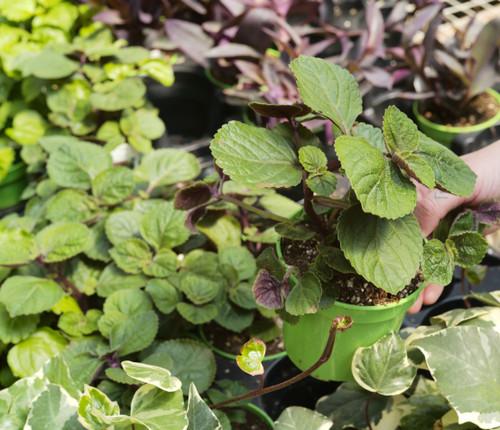 Swedish Ivy - 4 In