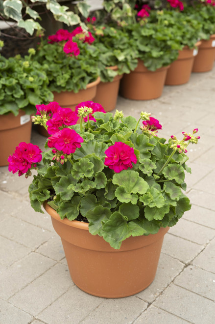 Geranium - 12 in patio pot