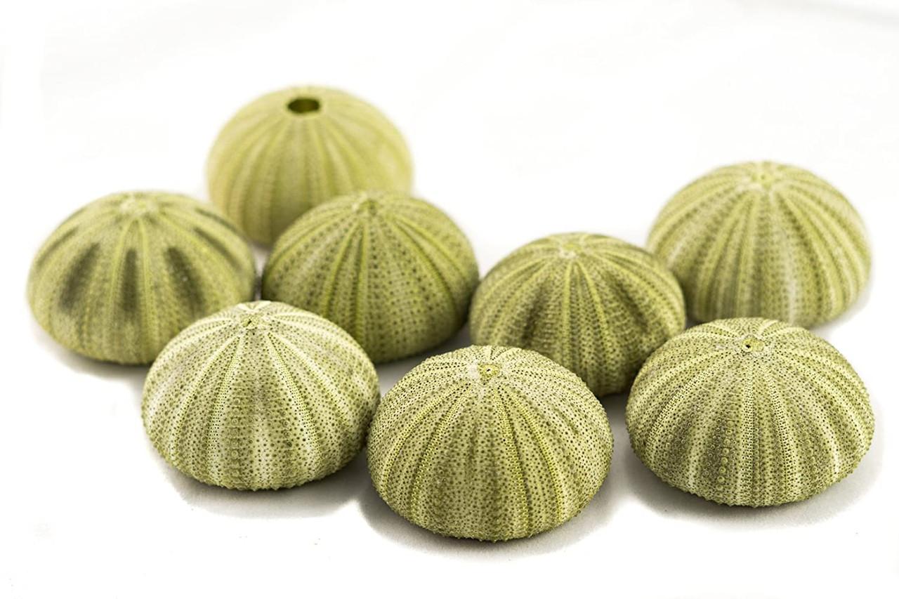 "2 White Melon Decorative Shells Table Top Centerpiece 6-7/"" Set of 2"