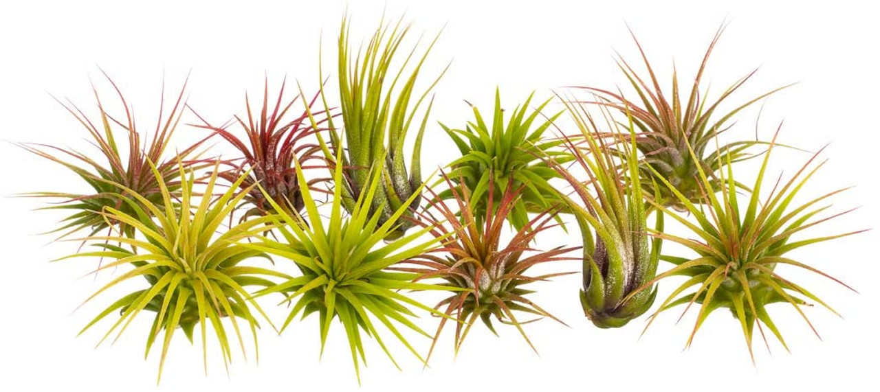 Assorted Tillandsia Air Plants 10 Pack Nautical Crush Trading