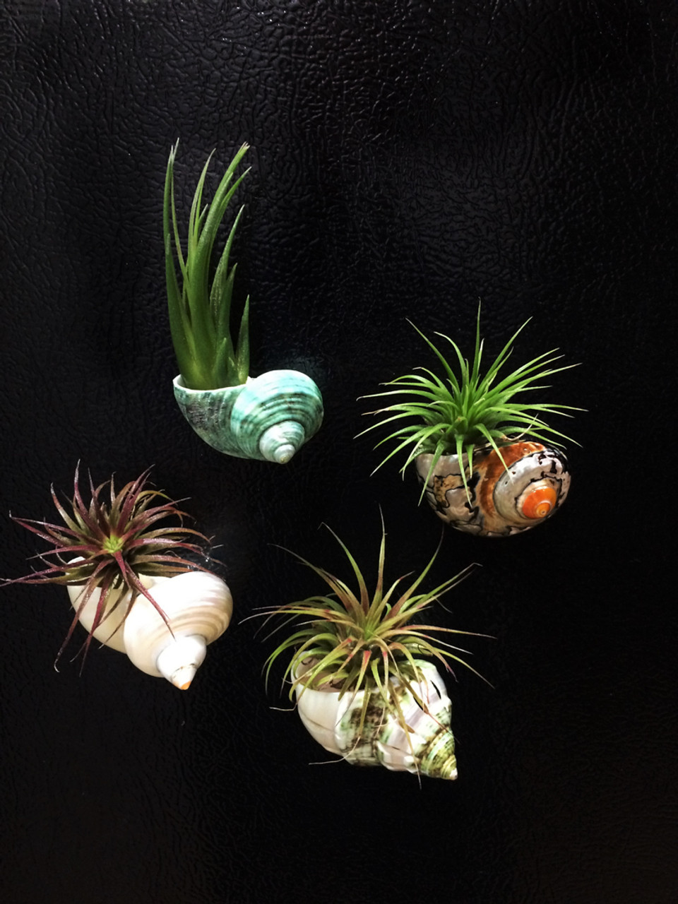 Turbo Sea Shell Magnets And Tillandsia Air Plant Gift Set Set Of