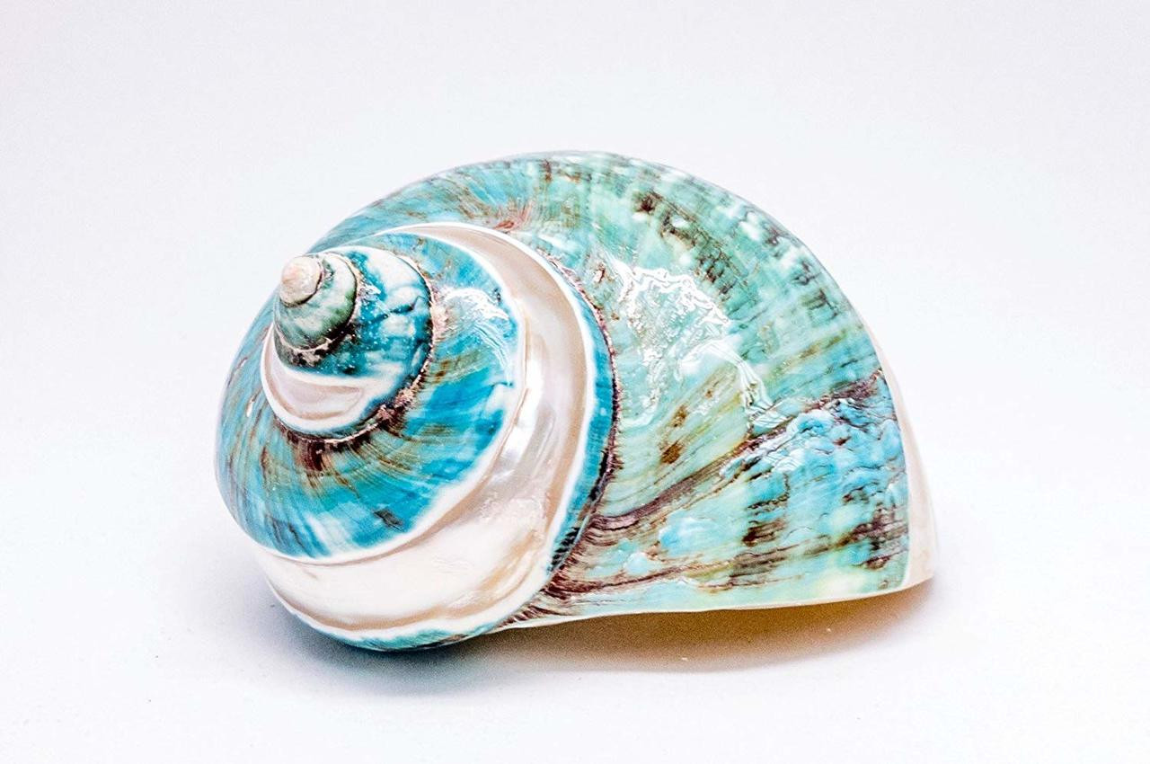 """2 PCS Polished White Banded Green Jade Turbo Hermit Crab SEA Shell 3.5-4/"""""""