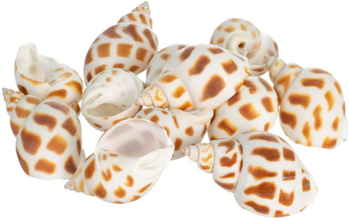 3 Inch ~ 3-1//2 Inch PEPPERLONELY Green Blue Gade Big Turbo Sea Shells Large Hermit Crab Shells