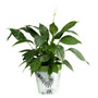 dark green fern, large 25cm indoor/outdoor pot