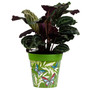green 'butterfly palms' large 25cm indoor/outdoor pot