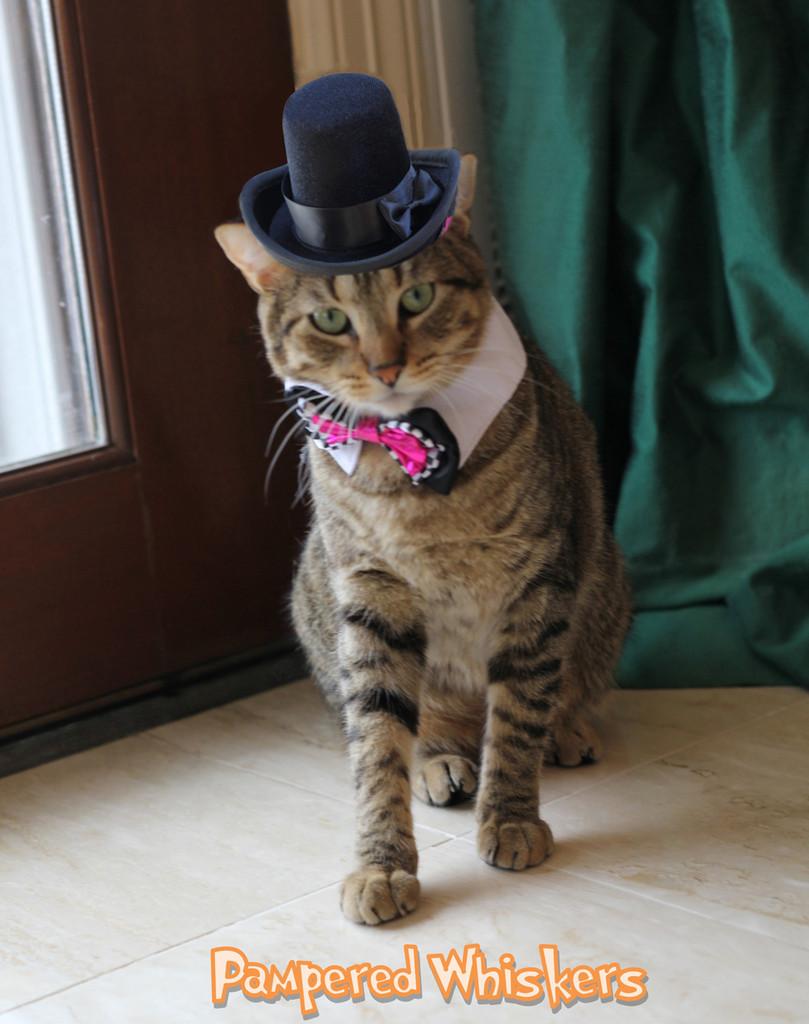 cat top hat - The Aristocrat