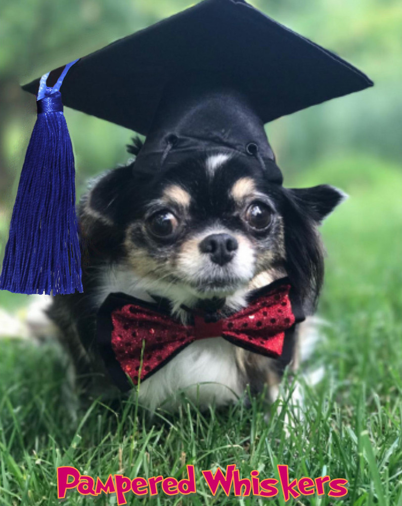 Dog graduation cap with blue tassel