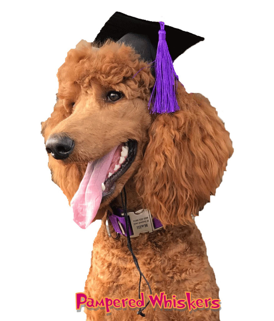Dog Graduation Cap with purple tassel
