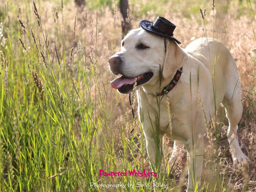 Cowboy hat for large dogs.