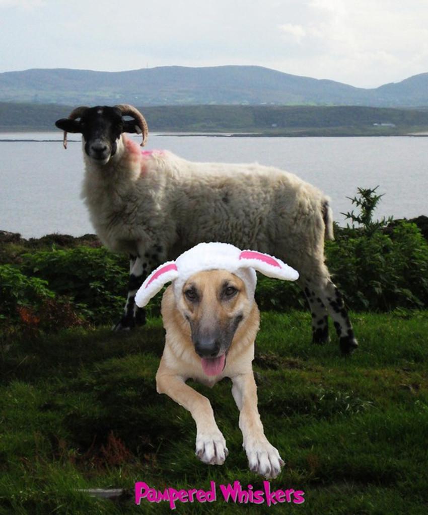 sheep costume for dog