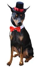 Dog wedding attire
