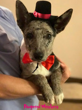 Top Hat for small dogs