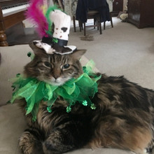 Shamrock Hat for Cat with party collar