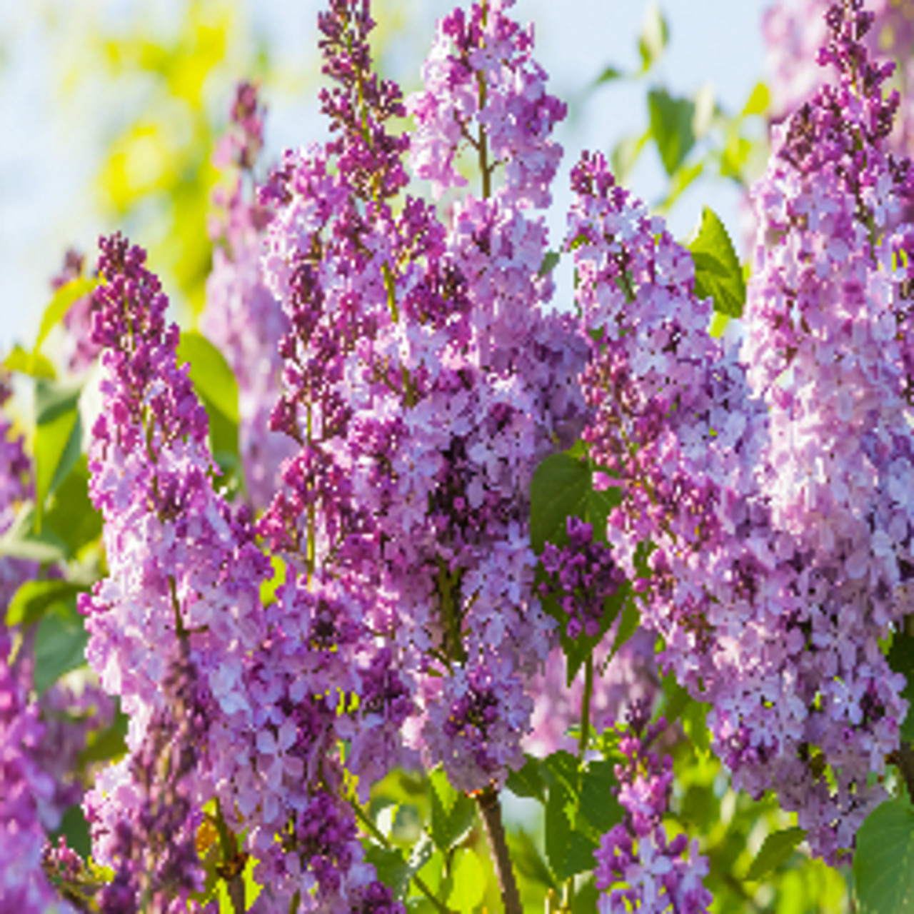 Lilac Blossoms Type Fragrance Oil