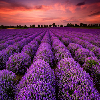 Lavender Breeze Fragrance Oil