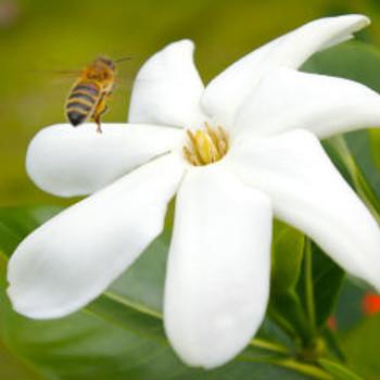 Tahitian Tiare Fragrance Oil