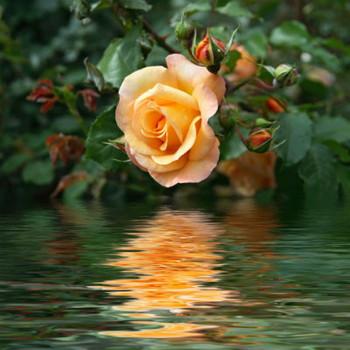 Secret Rose Garden Fragrance Oil