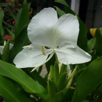 Hawaiian White Ginger Fragrance Oil - Bulk