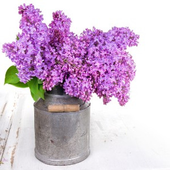 Fresh Cut Lilacs Fragrance Oil - Bulk