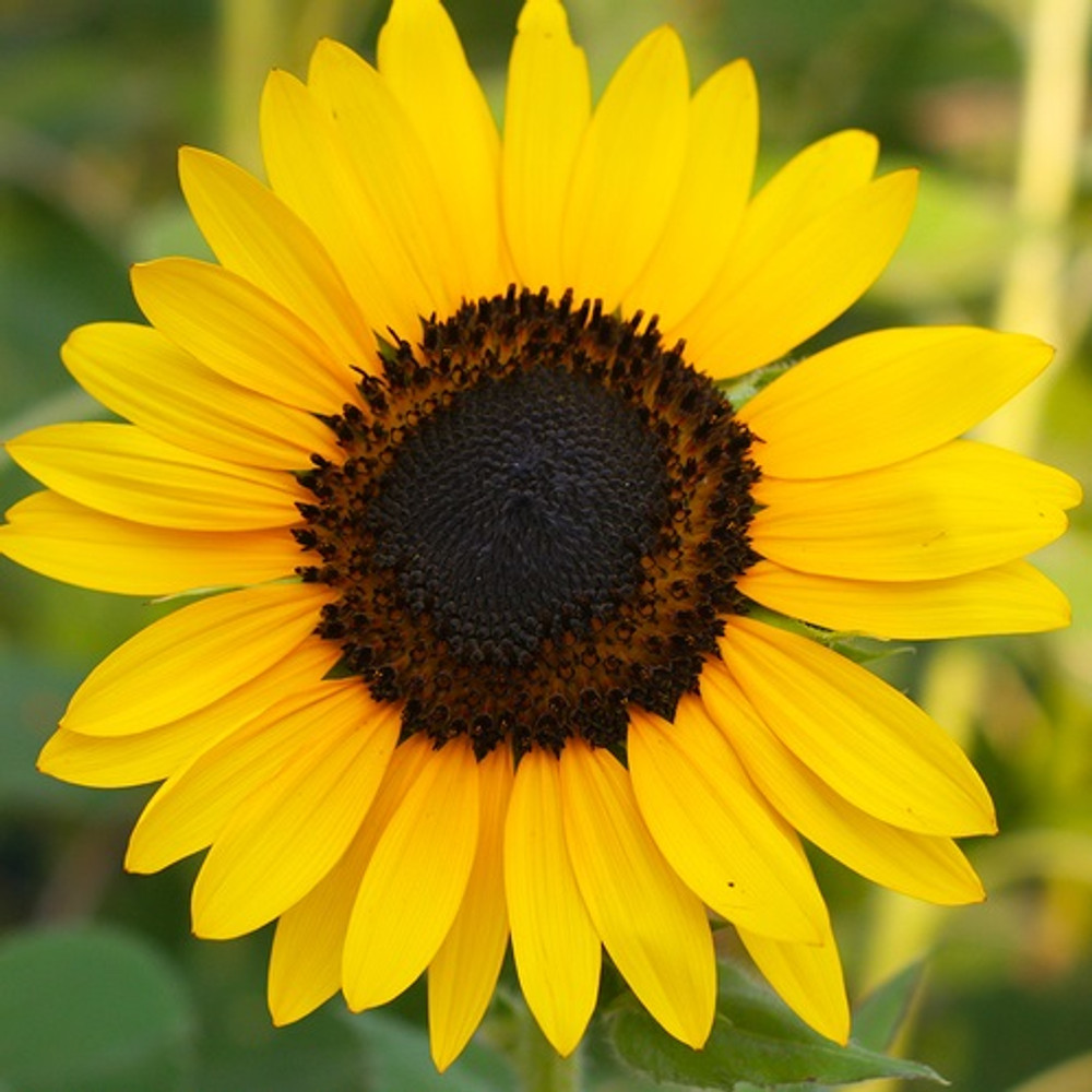 Sunflower Oil - Refined - Mid Oleic (High Linoleic)