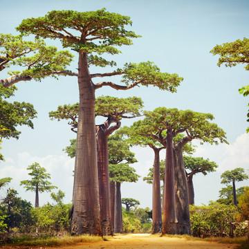 Baobab Oil-Virgin