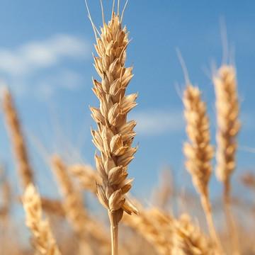 Wheat Germ Oil - Virgin