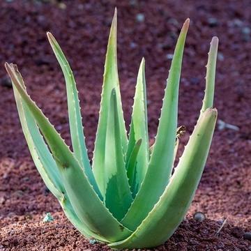 Aloe Vera Gel - Paste (Unscented)