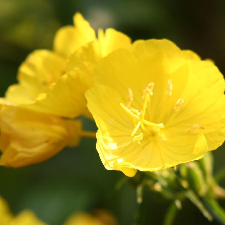 Evening Primrose Oil - Refined
