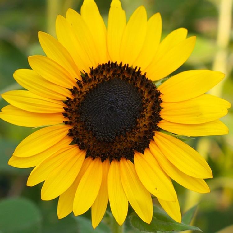 Sunflower Oil - Refined - Mid Oleic (High Linoleic)