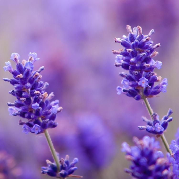 Lavender Oil - Bulgarian