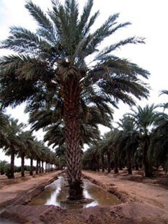 Date Palm Flood Irrigating