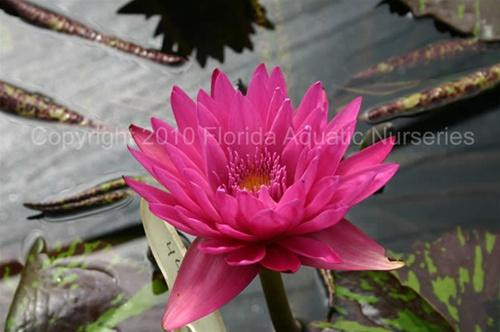 'Hot Pink' (M) Tropical Waterlily Day Blooming (Pink)
