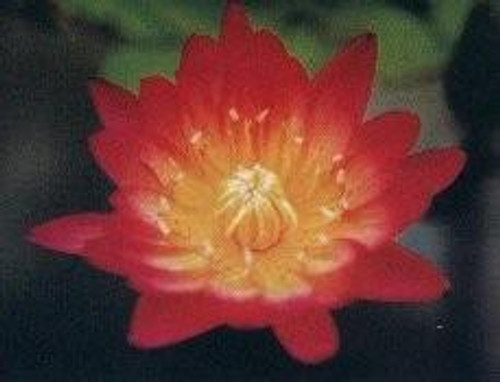 AFTERGLOW (M-L) Tropical Water Lily Day Blooming (Autumn Shades)