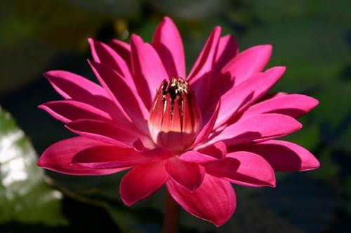 ANTERES (M-L) Tropical Water Lily Night Blooming Red