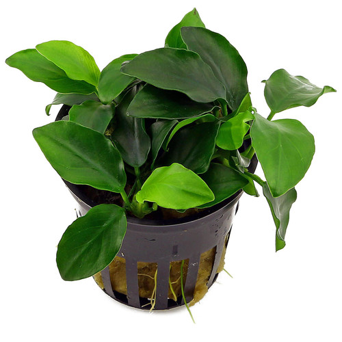 Anubias barteri var. nana 'narrow leaf'(potted)