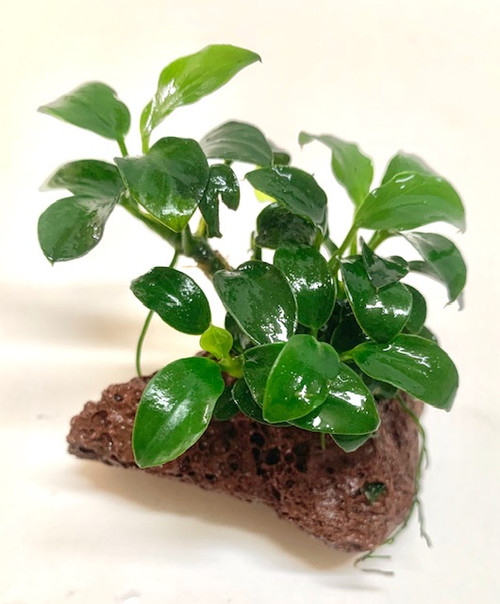 Anubias nana petite growing on lava rock