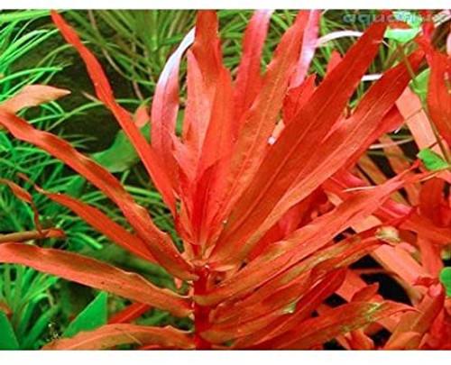 Ammannia-Senegalensis-aquariumplants.com