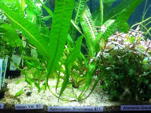 Aponogeton-Boivinianus-aquariumplants.com