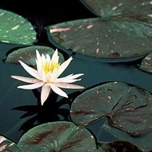 ARC EN CIEL(M) Hardy Water Lily (Pink)