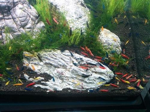 Assorted Shrimp (Neocaridina davidi)
