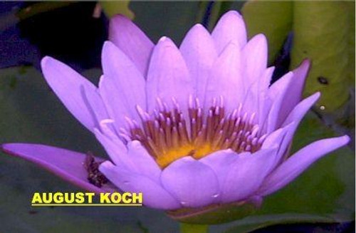 AUGUST KOCH (M) Tropical Water Lily-Day Blooming (Blue)