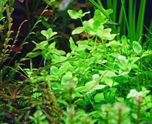 Bacopa australis (Bacopa australis)