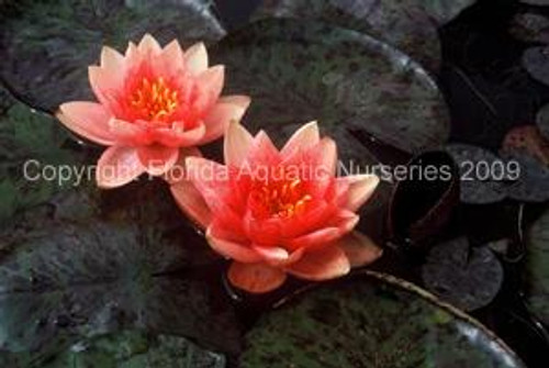 BERIT STRAWN (SM) Hardy Water Lily (Peach)