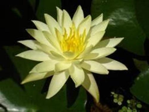 BETSY SAKATA (M) Hardy Water Lily (Yellow)