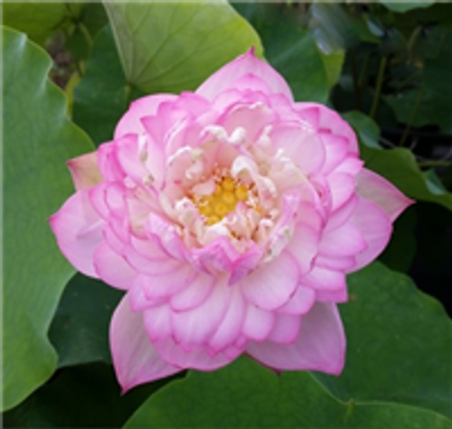 Birthdays Peach (Nelumbo nucifera)