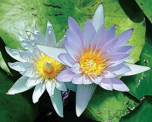 BLUE BEAUTY (M-L) Tropical Water Lily-Day  Blooming (Blue)