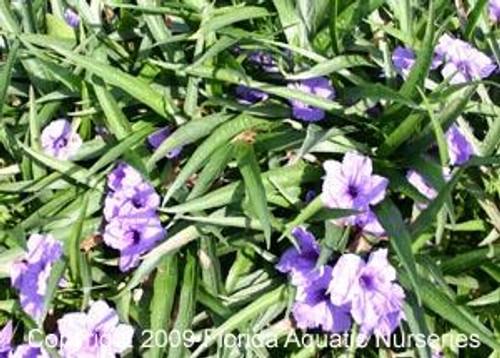 BLUE BELL, COMPACTA (Ruellia brittoniana) blue, purple (Qty of 6)