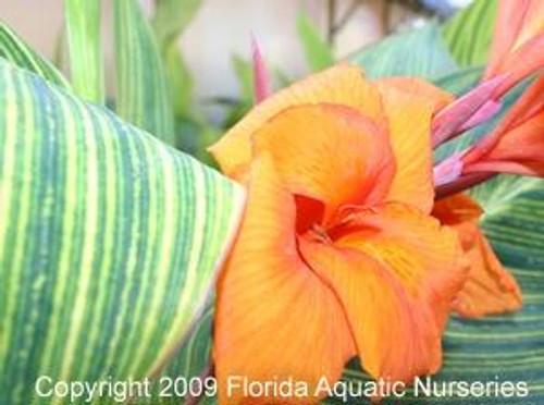 CANNA, BENGAL TIGER (Canna americanallis variegata) Orange (Qty of 6)