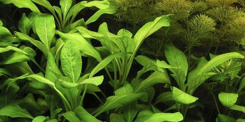 Cardinal Plant Pot (Lobelia cardinalis)